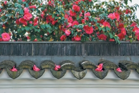 by: Courtesy of Mike Golner, At Lan Su Chinese Garden, camellia flowers descend gracefully intact from the tall shrub.