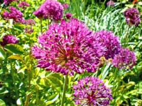 "by: Barbara Blossom Ashmun, Bees love to visit ""Purple Sensation"" flowering onion, which has self sown to form a colony."