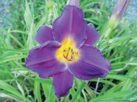 by: Julie Holderith, Strutter's Ball daylily brings vibrant color to beds and borders in summer; spring is a good time to divide mature clumps.