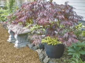by: Barbara Blossom Ashmun, Growing this Japanese maple and hosta in a big container brings them close to a bench, in Gail Austin's garden.