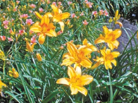 "by: Barbara Blossom Ashmun, At Midnight Gardens, big bright flowers adorn ""Memories of Ken"" daylilies, in memory of Ken Austin, with ""Pink Playmate"" in the background. Both are Al Rogers introductions."