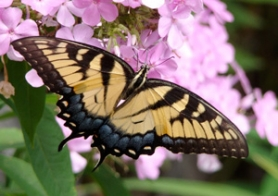by: Courtesy of Susan Hamilton, Swallowtail butterflies visit the summer phlox, gracing them with fleeting beauty.
