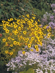 by: Courtesy of Barbara Blossom Ashmun, In autumn, Rudbeckia triloba opens plentiful black-eyed susans, with billowing blue asters nearby.