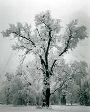 "by: , Rare original Ansel Adams prints, such as this ""Oak tree, snow storm, Yosemite Valley, California"" silver print from 1948, will be showcased at Hartman Fine Art for the month of November."