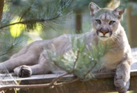 by: Submitted photo SANCUTARY – Coquille, a North American Cougar, lays in her enclosure at Wildcat Haven in Sherwood. Coquille is one of more than 50 wild cats that live in the sanctuary, which celebrate it's 10th year this year.