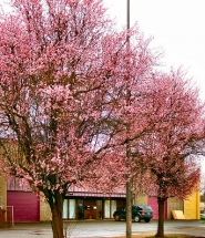 by: Rita A. Leonard Two of the nearly fifty ornamental flowering trees along S.E. 17th Avenue which will face the axe during construction of Light Rail through Brooklyn.