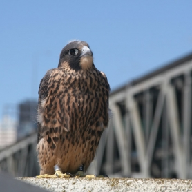 by: Courtesy of Audubon Society of Portland Audubon's Wildlife Care Center is raising funds to help birds and animals thrive in an urban setting.