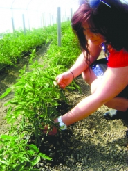 by: Arwen Ungar PRODUCE OPTIONS — Samara Hashem displays one of 15 varieties of tomatoes  