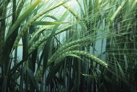 by:  Making barley more cold-tolerant is the goal of a program at Oregon State University, funded by a $25 million grant from the U.S. Department of Agriculture.