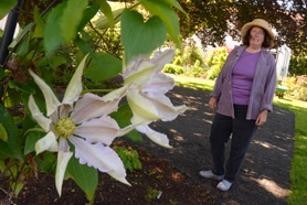 by: vern uyetake Linda Beutler stands next to a historic Patens plant, the founding species for all large native hybrid clematis plants in the Rogerson Clematis Collection.