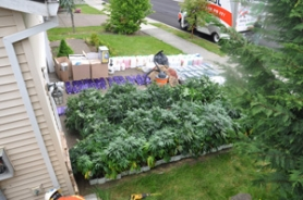 by: Photo courtesy of Gresham Police Gresham Police Department's Special Enforcement Team seized more than 175 mature plants, more than 10 pounds of marijuana buds and approximately 1,000 marijuana plant starts from a Gresham home.