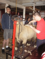 by: Ellen Spitaleri Sheep shearing was part of the Land Lab tours.