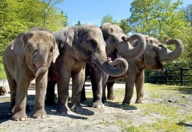 by: Courtesy of the Oregon Zoo The Oregon Zoo's elephants, from left, Chendra, Rose-Tu, Shine and Pet, will have more room to meander once their enclosure is expanded to six acres as part of the work funded by the 2008 $125 million bond.