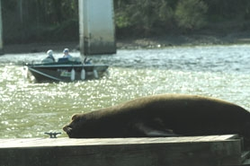 by: VERN UYETAKE  While California sea lions, like this one, eat 4.2 percent of adult salmon and steelhead runs, the sea lions cannot be killed. They tend to hang out near Willamette Falls between West Linn and Oregon City.