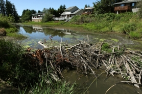 by: Jaime Valdez Beavers have begun to reconstruct a dam on Merestone Pond along 121st Avenue in Tigard. The city removed the dam earlier this year to keep debris out of a nearby culvert.