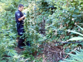 by: CCSO Officers with the Clackamas County Inter-agency Task Force busted an outdoor marijuana grow operation near Oregon City on Wednesday, Aug. 17, and seized 355 plants five or six feet tall.