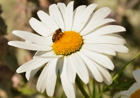 by: vern uyetake A honeybee finds a sweet spot on a daisy. The farm attracts a huge variety of bees, thanks to its wide diversity of flowers and plants.