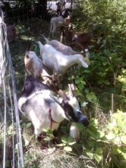 by:  These goats chomp their way through invasive plant species on a property near Eagle Creek.