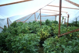by:  Marijuana was being grown in makeshift greenhouses on the property.