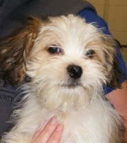 by: Submitted photo This Lhasa Apso puppy is one of the many animals rescued from a filthy Aloha home Nov. 1, who will be available for adoption beginning Friday.