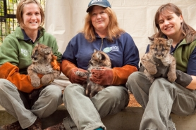 by: Oregon Zoo The size of the rescued 10-week-old cougar cubs can be seen in this pictures with keeper Liz Bailey, keeper Michelle Schireman and veterinary technician Kelli Harvison (from left).