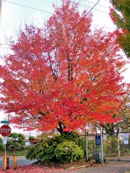 by: Rita A. Leonard It's the last fall for this maple. It's on the west side of S.E. 17th north of Holgate, and most of these trees will be removed to widen 17th in preparation for the new MAX line, which will run down the middle of this street in the Brooklyn neighborhood.
