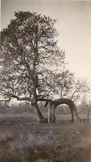by: photo courtesy of the Troutdale Historical Society Officials saved the Lover's Oak tree in Troutdale 70 years ago, only to see it destroyed in the Columbus Day Storm 21 years later.