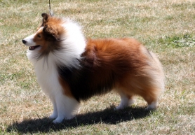 by:  Riley is a Shetland Sheepdog who measures 15-and-a-half inches long and weighs 28 pounds.