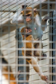 by: CHRISTOPHER ONSTOTT Some animal rights advocates believe higher primates should not be used for medical research. These rhesus monkeys are being studied by scientists at the Oregon National Primate Research Center who hope to find a link between obesity in pregnant monkeys and diseases in their offspring.