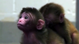 by: Courtesy of OHSU-ONPRC Newly published research by scientists at OHSU provides significant new information about how early embryonic stem cells develop and take part in formation of chimeric monkeys.
