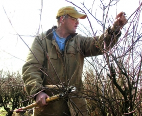by: Mara Stine Clair Klock uses loppers to prune a blueberry bush on his Corbett  farm during his annual blueberry pruning and care seminar in January 2011.