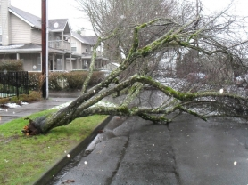 by:  BARB RANDALL This tree, located on C Avenue between Third and Fourth streets, was one of the first to fall as a result of stormy weather this week.