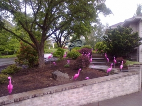 by: submitted photo Homes in Lake Oswego and West Linn — and between Salem and Southwest Washington—  have received surprise visits from flocks of plastic pink flamingo yard ornaments. The company responsible, Think Pink Flamingo Flocking, will soon celebrate its two-year anniversary with more than 500 flockings for special occasions.