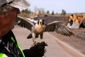 by: CHRISTOPHER ONSTOTT Falcon trainer Al Ingram holds Buddy, the peregrine falcon who patrols the sky over the Nature's Needs composting facility in North Plains to keep gulls and other unwanted birds at bay.