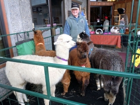 by: CONTRIBUTED PHOTO, Arnie Poutala, owner of Cedar Springs Alpacas near Sandy, stands beside several of his animals on display at a recent Saturday market in Sandy.