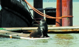 by: Courtesy photo, A handful of sea lions have taken up residence at the St. Helens Marina in recent weeks. But it's likely a short stay, officials say, as the visiting animals are only here to dine on migrating fish.