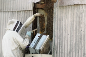 by: Jeff Spiegel, Elbert Lowry (left) and Dave Kitchen prepare to remove a bee hive that was occupying the back of Prokop's TV building.