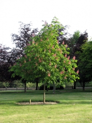 by: Courtesy of Schmidt Nursery, Horsechestnut ornamental shade trees prefer roomy, moist, well-drained soil in full sun.