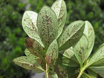 by: SUBMITTED PHOTO - Azalea lace bugs can do damage to azaleas, rhododendrons and other plants. Watch out for them in your garden this spring.