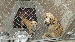 Photo Credit: COURTNEY VAUGHN - Small dogs share a kennel at the Columbia Humane Society in St. Helens.