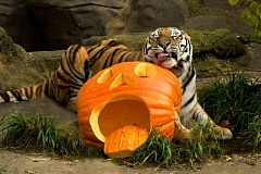 Photo Credit: COURTESY MACKENZIE REED/OREGON ZOO - Mikhail, a rare Amur tiger, turns 16 years old on Halloween at the Oregon Zoo. A birthday party is planned.