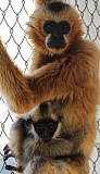 Photo Credit: SUBMITTED PHOTO: ALISSA WHELAN - Ricky and one of her babies, Dennis, live at the Gibbon Conservation Center in Santa Clarita, Calif. Ricky has a specific kind of sarcoma on her foot, that researchers are hoping may shed new light onto the cancer.