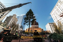 Photo Credit: PAMPLIN MEDIA GROUP: CHASE ALLGOOD - Portland's Christmas tree is lifted by crane from a truck that brought it from Stimson Lumber near Gaston.