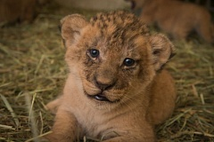 Photo Credit: COURTESY OREGON ZOO - One of three irrestaible lion cubs at the Oregon Zoo.