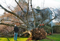 Photo Credit: DAVID F. ASHTON - The homeowners son-in-law gazes at the huge tree that fell into her house.