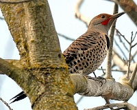 Photo Credit: JIM LIESCH, OREGON DEPARTMENT OF FORESTRY  - A flicker rests on a branch.