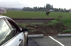 Photo Credit: COURTESY OF WCSO - A lone bull's rampage through the small town of Cornelius ended Monday afternoon, Jan. 19, when a Washington County sheriff's deputy shot the animal.