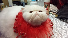 Photo Credit: JOSEPH GALLIVAN - Frosty the Snowman of Woodlyn at the International Cat Show, Portland