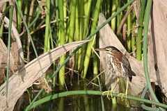 Photo Credit: NEWS-TIMES PHOTO: DOUG BURKHARDT - This green heron, spotted at Fernhill Wetlands near Forest Grove, is a relatively rare site in the Willamette Valley, but populations are slowly increasing in western Oregon.