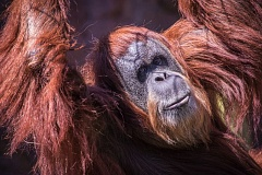 Photo Credit: COURTESY OF MICHAEL DURHAM/THE OREGON ZOO - Inji, the Oregon Zoo's orangutan, turns 55 this week. She's the oldest of her species on the continent.